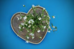 Daisy Camomile Fowers Rustic Bouquet blue Background. Heart Shape wooden box Flat Lay. Daisy Camomile Fowers Rustic Bouquet blue Background. Heart Shape wooden royalty free stock image