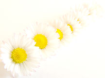 Free Daisy Chain Royalty Free Stock Image - 2276