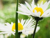 Daisy Chain stockbild