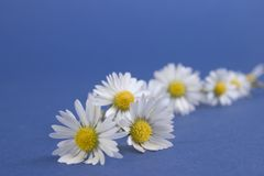 Free Daisy Chain Royalty Free Stock Image - 155816