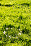 Daisy Chain Stock Photo