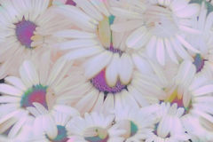 Daisy Chain Royalty Free Stock Images