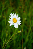 Daisy.chamomile, camomile, daisy. Daisy flower on grass background Royalty Free Stock Photo