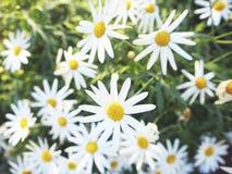 Daisy Chamomile Field Blossom Concept imágenes de archivo libres de regalías