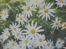 Daisy Chamomile Field Blossom Concept photo stock
