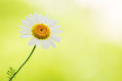 Daisy, chamomile flower on green Royalty Free Stock Photography