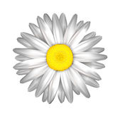 Daisy, chamomile flower isolated; . Stock Photo