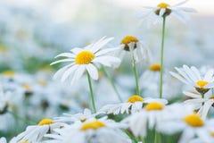 Daisy Or Chamomiles Grass In naturbakgrunden Royaltyfri Fotografi