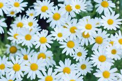 Daisy Or Chamomiles Grass In naturbakgrunden Arkivfoton