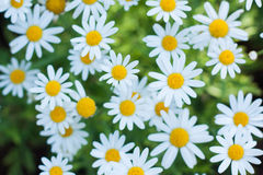 Daisy Or Chamomiles Grass In The Nature Background. Royalty Free Stock Photo