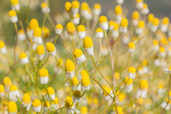 Daisy Or Chamomiles Grass In The Nature Background. Royalty Free Stock Photography