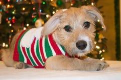 Daisy the Christmas pup Royalty Free Stock Photos
