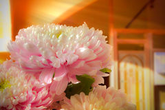 Daisy / chrysanthemum. A bunch of chrysanthemum placed in an indoor setting Royalty Free Stock Photos