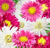 Daisy chrysanthemum chamomile isolated on white background Stock Photo