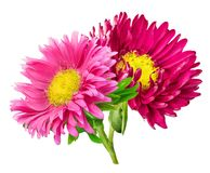 Daisy chrysanthemum chamomile isolated on white background Royalty Free Stock Photos
