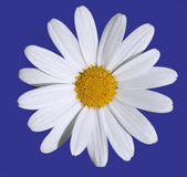 Daisy with clipping path Royalty Free Stock Photography