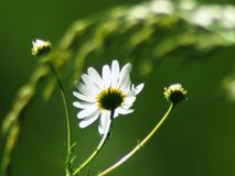 Daisy is close to white you can guess on the petals royalty free stock photography
