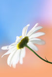 Daisy close up. Against pastel bacground Royalty Free Stock Photos