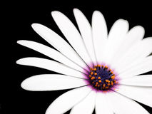 Daisy close-up Royalty Free Stock Photo