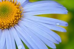 Daisy Close-up. Stock Photography