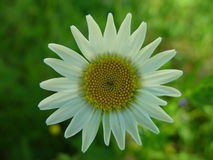 Daisy close up. Close up of a daisy flower in spring Royalty Free Stock Photos