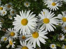 Daisy close-up Royalty-vrije Stock Foto