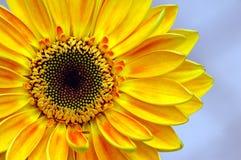 Daisy Close-up Stock Image