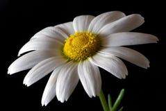 Daisy close-up Stock Photo