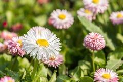 Daisy Close Up blanche Photo libre de droits