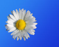 Daisy close up. On a blue background Royalty Free Stock Images