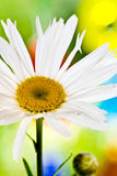 Daisy close-up with colourful Background Royalty Free Stock Images
