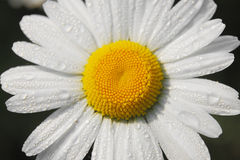Daisy close up Royalty Free Stock Image