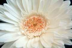 Daisy Close-up Stock Photography