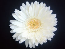 Daisy Close Royalty Free Stock Photo
