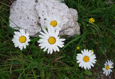 Daisy. A close up of some nice Daisies in an alpine meadow Royalty Free Stock Photography