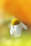 Daisy closeup. Shallow depth of field Stock Images
