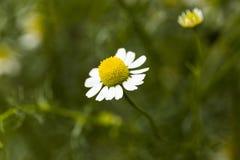 Daisy Closeup immagini stock