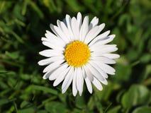 Daisy closeup. Close-up of daisy on a green grass background Stock Photo