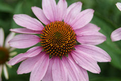 Daisy Closeup Royalty-vrije Stock Afbeeldingen