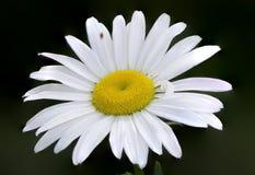 Daisy Closeup Imágenes de archivo libres de regalías