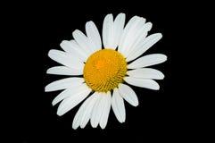 Daisy Closeup Lizenzfreies Stockbild