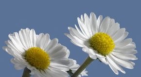 Daisy closeup in blue back Stock Images