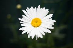 Daisy closeup Stock Photos