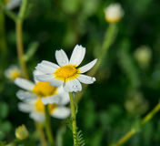 Daisy closeup on green field Stock Image