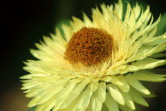 Daisy Closeup jaune Photos stock