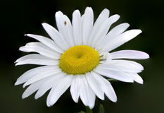 Daisy Closeup Royalty Free Stock Images