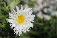 Daisy Closeup molhada foto de stock royalty free