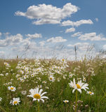 Daisy and clouds. Daisy field and blue sky with clouds royalty free stock images