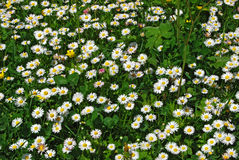 Daisy and clover field. Daisies and clovers on country meadow as background royalty free stock images