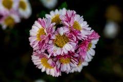Daisy Cluster rosa fotografia stock